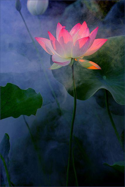 Symbolism lotus flower inkspiration bahman farzad2 bahman farzad mightylinksfo